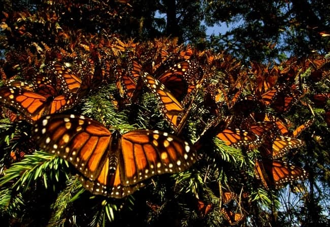Butterflies Are A Natural Beauty: Wings Of Life disneynature