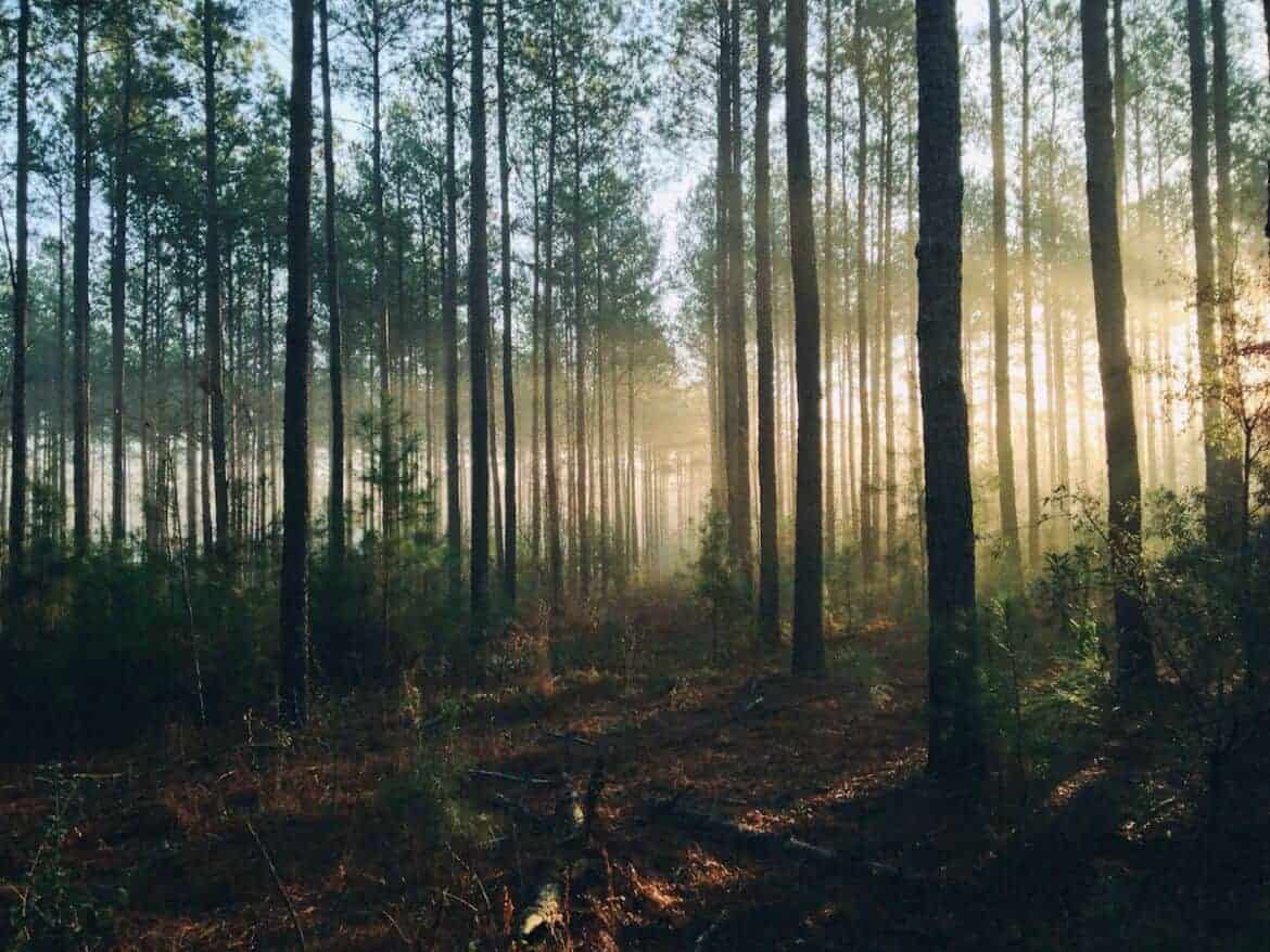 tall trees forest woods
