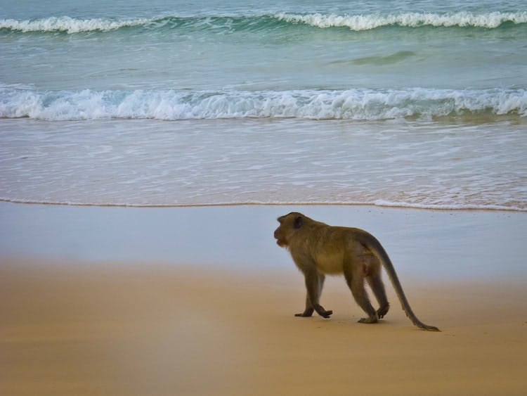 Monkey on Beach in Koh Rong Cambodia