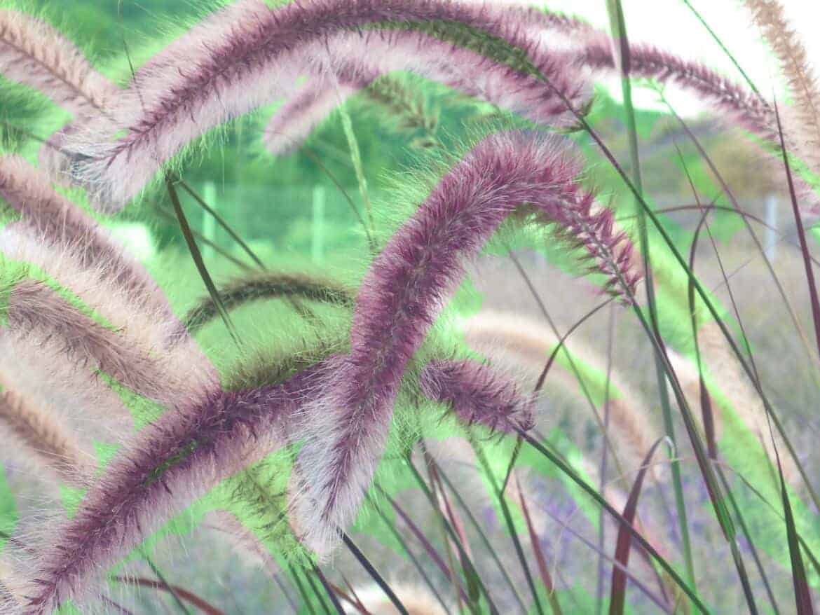 easy to grow plant - fountain grass