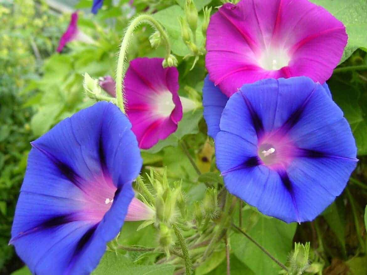 easy to grow flowers morning glory